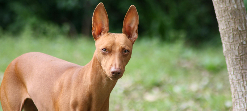 Healthy Critters #33: Cirneco dell'Etna, Aloe Vera, Product Picks, Ticks and Fleas