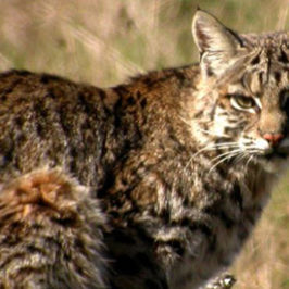 Healthy Critters #43: What Makes A Good Vet, Chia or Flax, Bobtail Cats and Bobcats