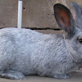 Healthy Critters Radio Argente Rabbit