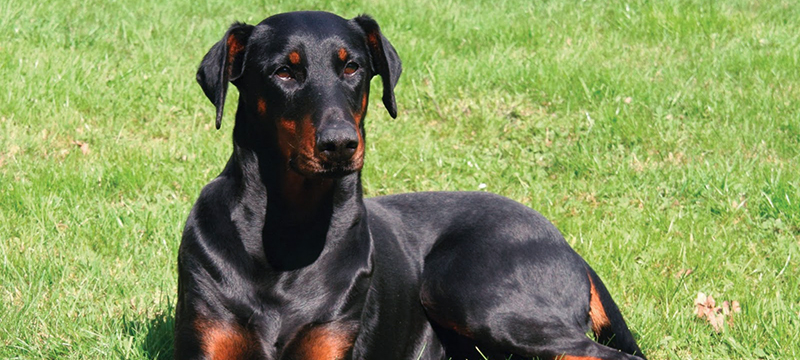 Healthy Critters #53: Coping With Stress, Doberman, Which Supplement When, & Horse Shopping