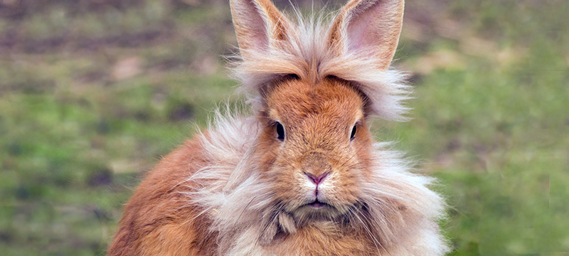 Healthy Critters Radio Episode 55 Lionhead Rabbit
